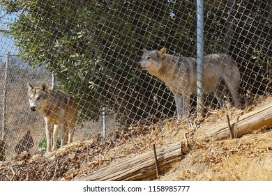 LOS ANGELES - JAN 9: Wolves are seen at the Wildlife Waystation animal sanctuary after being rescued from a fur farm on August 17, 2018 in Sylmar, CA