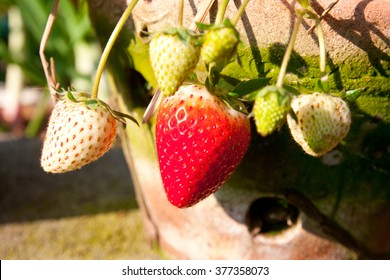 lose up strawberry with planting strawberry background