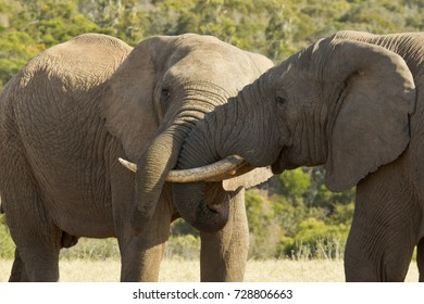 lose up view of elephants standing and wrestling with their trunks on a hot summers day