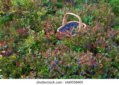 A lost basket with bilberries (vaccinium myrtillus). Season: Summer. Location: Western Siberian taiga.