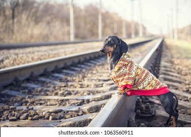 lost dog of the dachshund breed, black and tan, dressed in a sweater stands on rails on the railway