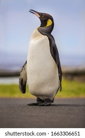 A lost King Penguin who swam from Antarctica to Cape Town, South Africa to moult.