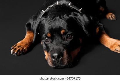lost rottweiler portrait