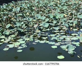 Lotos flowers in the lake