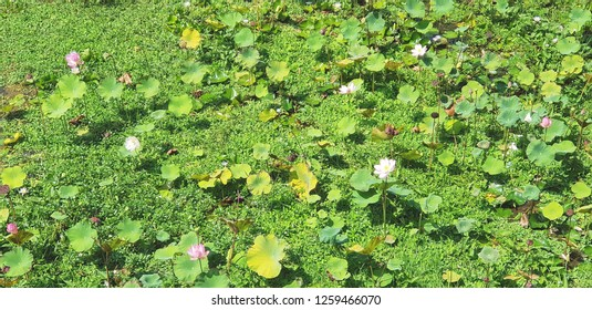A lot of  lotos on green background. Lotos flower. Top view. Bali, Indonesia.