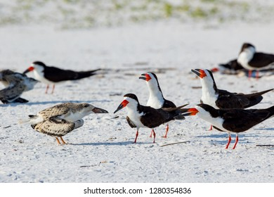 Lots of  adult and chick Black Skimmer (Rynchops niger) standing on the sand of the beach of Pensacola Florida, USA