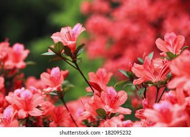 lots of azaleas blooming in spring in garden