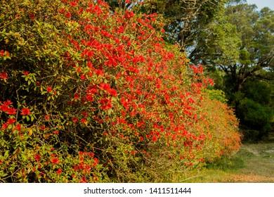 lots of azaleas blooming in spring in garden.Side view of autumn belle azalea bush.Big red azalea bush in the garden. Season of flowering azaleas.  - Image