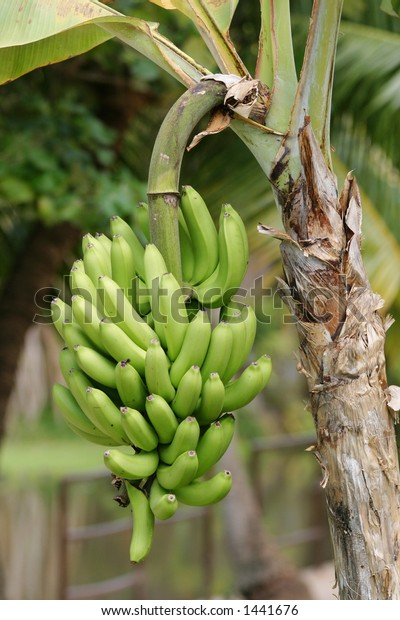 Lots of bananas on a tree.