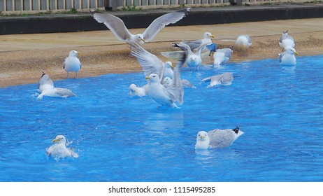 Lots of beautiful seagulls having a swim and splashing about in blue water.