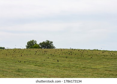 Lots of black crows on a green field in the countryside