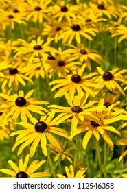 Lots of black eyed susan flowers