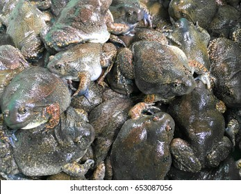 lots of bullfrog