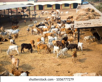 Lots of Cows, Cattle, livestock in Cow Farm in India