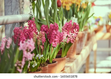 Lots of flowers in pots on the windowsill. Bright pink hyacinths are in focus. Spring flowers, floral background, greenhouse.