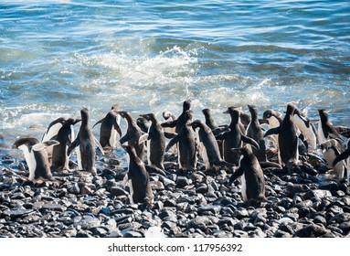 Lots of gentoo penguins going to swim. Antarctica