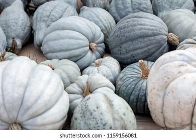 Lots of grey and blue Bleu de Hongrie Pumpkins, nice Squash to fry and roast