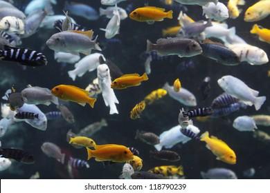 Lots of Lake Malawi Cichlids (Cichlidae) swimming in a tank.