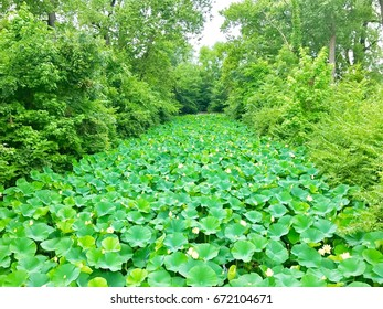 Lots of lily pads in a forested environment.