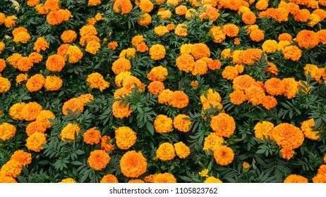 4db58e295c3 African Marigold Plants for Sale Images, Stock Photos & Vectors ...