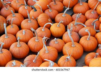 Lots of pumpkins at the pumpkin patch