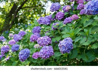 lots of purple hydrangea