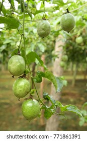 Lots of raw and fresh passion fruit in garden, passion fruit farm
