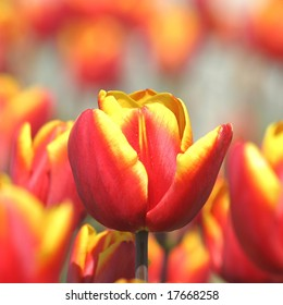Lots of red-yellow tulips
