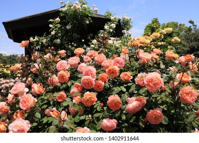 Lots of roses covering the summerhouse
