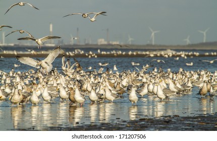 Lots of Seagulls on the beach in Holland. In the background you see the industry of Rotterdam.