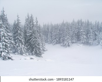 Lots of snowy pine trees high in the mountains