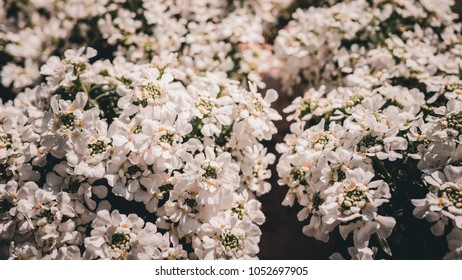 lots of white flowers, white floreal background