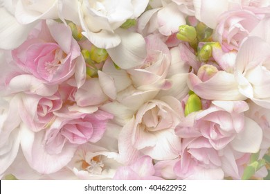 Lots of white and pink freesia flowers and green buds, nostalgic and romantic setting in soft light, highlight vignette, background