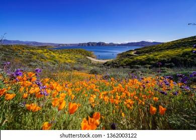 Lots of wild flower blossom at Diamond Valley Lake, California