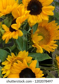 Lots of yellow sunflowers