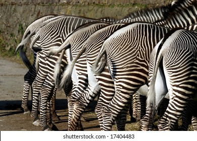 Lots of zebra from behind