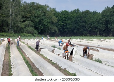 Lottum, The Netherlands - June 19, 2021: Asparagus cultivation with seasonal workers busy with harvesting the ripe vegetables