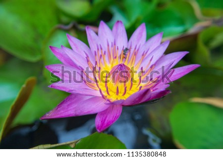 Lotus Stock Photo Edit Now 1135380848 Shutterstock