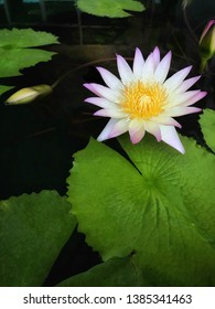 The lotus is about the possibility of oblivion.