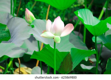 Lotus alone