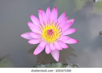 Lotus in the big river