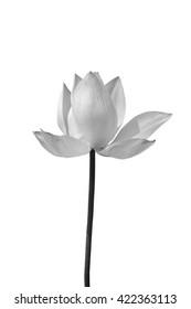 Lotus in black and white on white