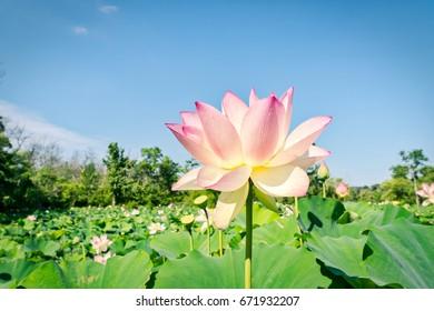 lotus bloom up close