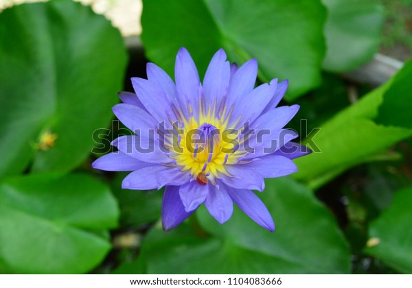 The lotus bloom on the holy day.
