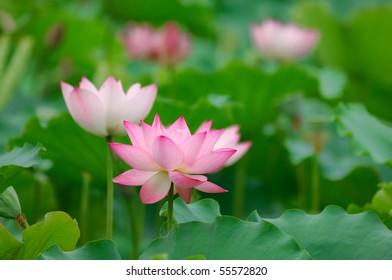 lotus bloom in the pond