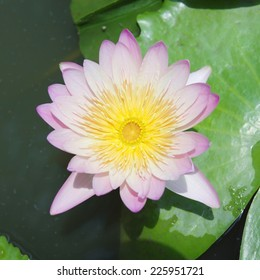 Lotus blooming exposure the sun