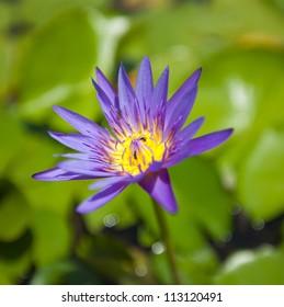 lotus blooming on pond
