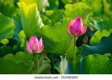 Lotus blooming in the park pond