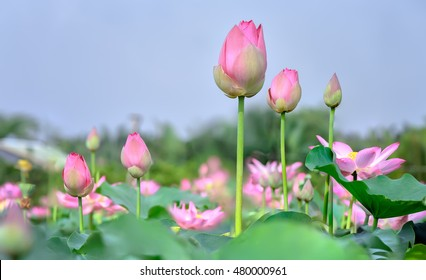 The lotus bud early sun vibrant blooms preparing for life shines beauty of natural world