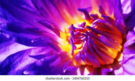 Lotus close up high definition of a blooming purple water lily with its full vibrant colors on display Close up of water lily flower and leaf selective focus blur background Wallpaper